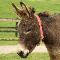 Aangenaam: Bocelli, de blinde ezel…