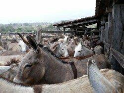 Geen 300 maar zelfs 700 vermoorde ezels in Brazilië… per dag!