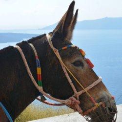 Goed nieuws voor de ezels op Santorini