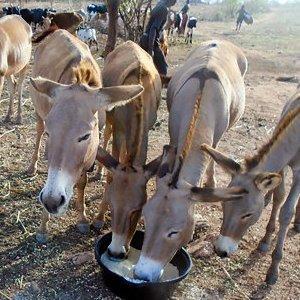 Met het bijvoeren van ezels armoede voorkomen