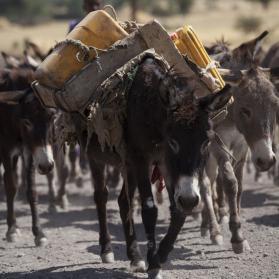 Ethiopië verbiedt export ezelhuiden!