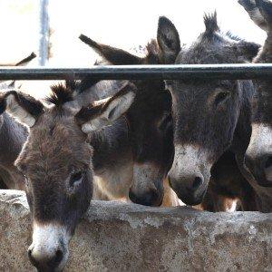 Kenia sluit belangrijke ezelabattoirs!