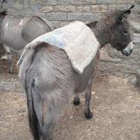 Één ezelheld bij de graanmolens in Ethiopië