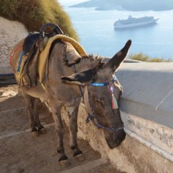 Hoe gaat het met de taxi-ezels op Santorini?