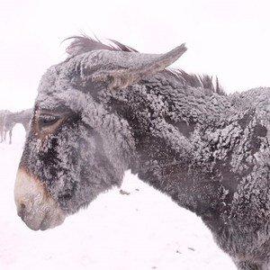 Honderden ezels sterven in de sneeuw