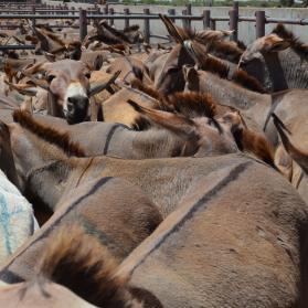 Tanzania verwerpt de huidhandel en sluit alle ezelslachthuizen