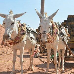 Samen sterker voor ezels in Zuidoost-Azië
