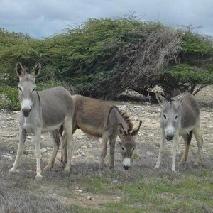 Nieuwe hoop voor de wilde ezels op bonaire