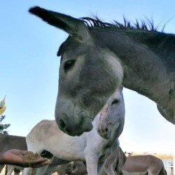 Meer dan 100 ezels gered van de slacht!