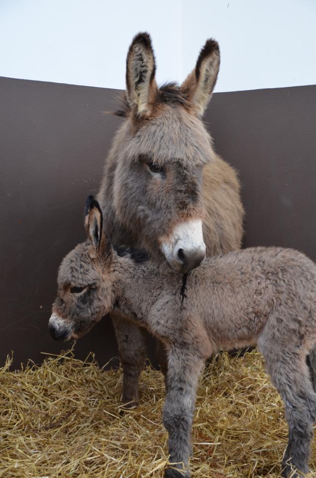 Donkey-Sanctuary-Veulen