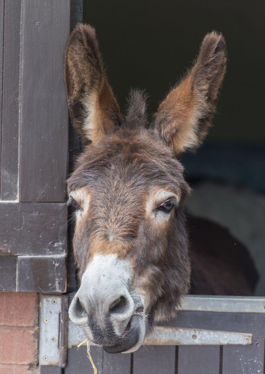 De aanschaf van een ezel Donkey Sanctuary