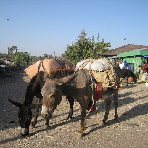 Donkey Ezels in Ethiopie