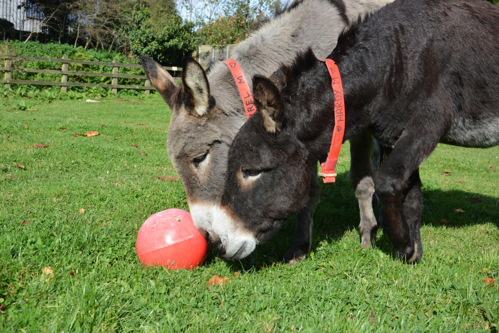 Ezels en muilderen wat is het verschil? The Donkey Sanctuary
