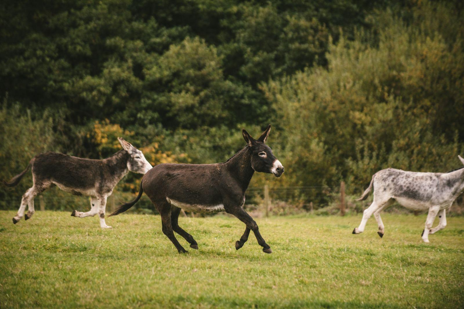 Gedrag van ezels The Donkey Sanctuary