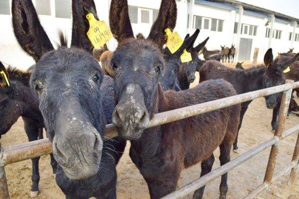 Ezels-huiden-slachting-Donkey-Sanctuary