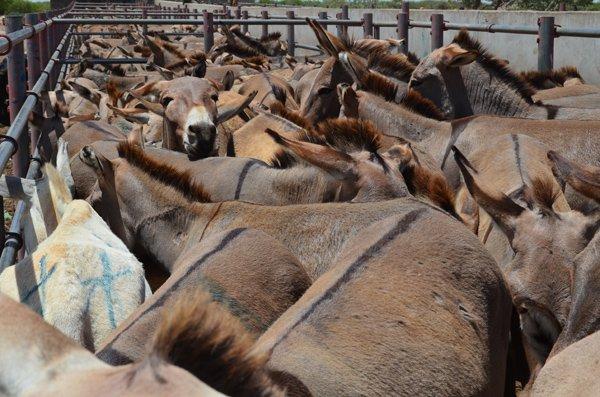 tanzania-markt-huidhandel-ezels-wachten-op-dood-donkey