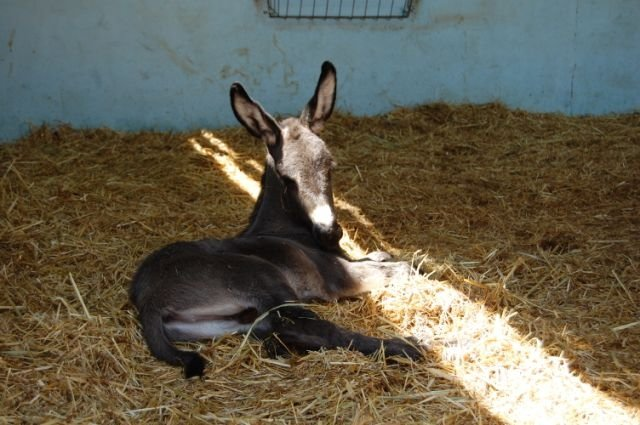 veulentjes-geboren-Donkey-Sanctuary