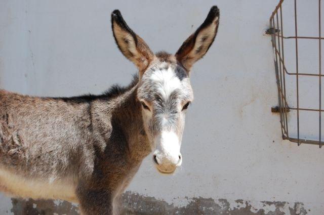 Veulen-Donkey-Sanctuary-Spanje