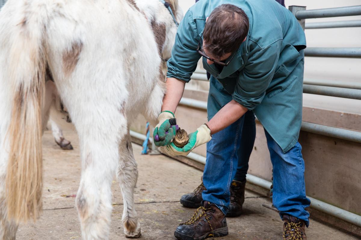Hoefverzorging ezels Donkey Sanctuary