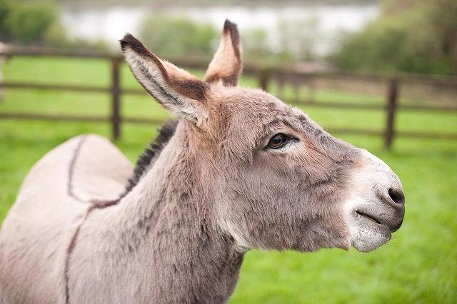 Verzorging van een ezel Donkey Sanctuary